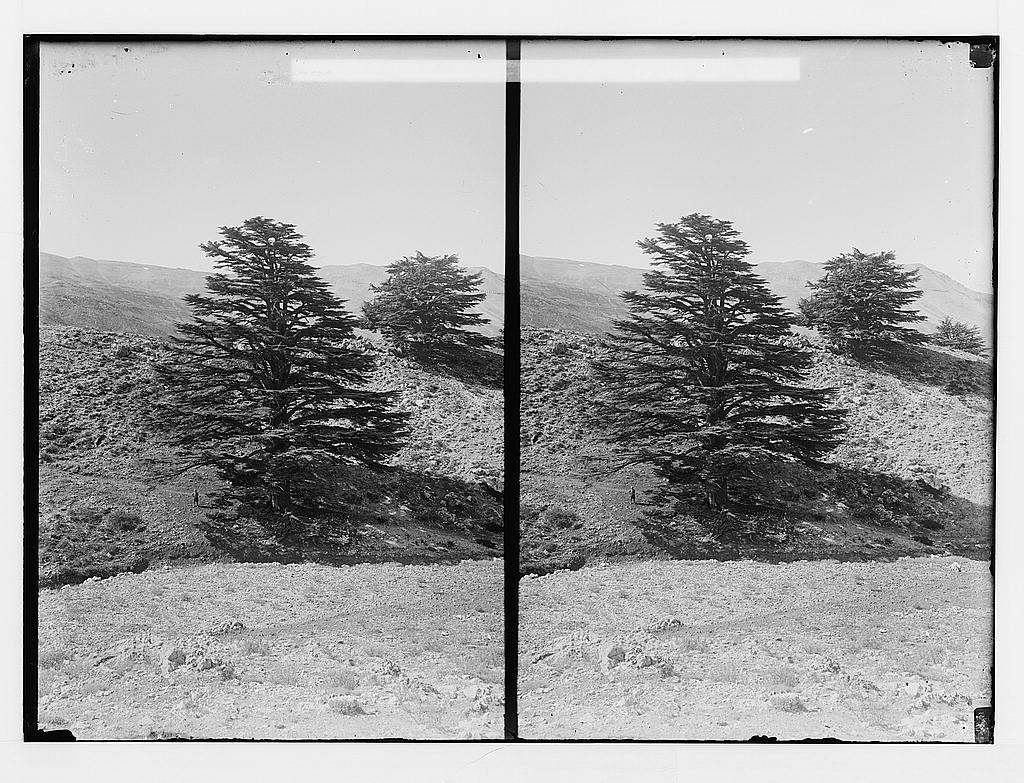 Cedars of Lebanon, American Colony (Jerusalem). Photo Dept, Lebanon, 1900-20. Source: loc.gov
